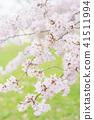 cherry blossom, cherry tree, yoshino cherry 41511994