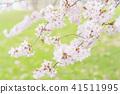 cherry blossom, cherry tree, yoshino cherry 41511995