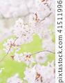 cherry blossom, cherry tree, yoshino cherry 41511996