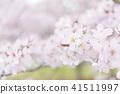 cherry blossom, cherry tree, yoshino cherry 41511997
