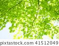 tender green, verdure, foliage 41512049