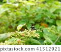 金甲虫 昆虫 夫妇 41512921