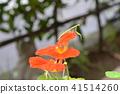 한여름 날의 곤충들. 나스타찌우무과 녹색의 작은 사마귀 애벌레 41514260