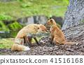 虾夷红狐狸 狐狸 父母身份 41516168