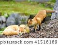 虾夷红狐狸 狐狸 动物 41516169