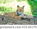 虾夷红狐狸 狐狸 动物 41516170