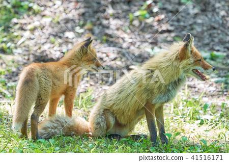 虾夷红狐狸 狐狸 动物 41516171