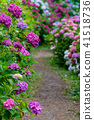Hattori Farm Hydrangea Hydrangea 41518736