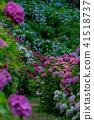 Hattori Farm Hydrangea Hydrangea 41518737