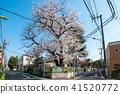 도쿄 산책, 세타가 야구 하나미 산책 세타 니 쵸메 양고기 유치원 벚꽃 41520772