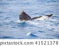 혹등고래, 흑고래, 고래 41521378