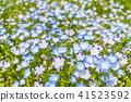 네모필라, 꽃, 플라워 41523592
