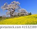 塩노崎의 大桜 41532389