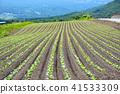 양배추, 야채, 채소 41533309