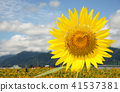 ทานตะวันดอกทานตะวันทานตะวันฤดูร้อนคัดลอกพื้นที่ธรรมชาติสีเหลืองสดใส 41537381