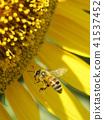 蜂蜜蜂向日葵向日葵向日葵夏天拷貝空間清楚的黃色自然 41537452
