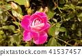 粉紅色的玫瑰花 41537457