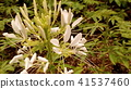 cleome, bloom, blossom 41537460