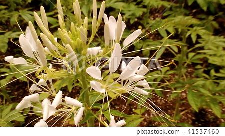 醉蝶花属 花朵 花卉 41537460