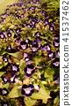 torenia, bloom, blossom 41537462