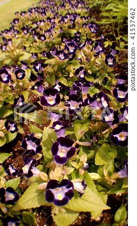 紫色邊緣白色r花Torenia花 41537462
