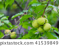 매실, 열매, 과실 41539849