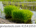 rice planting, green color, summer 41541050