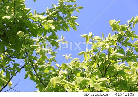 榆樹 41541105