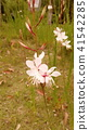 꽃, 플라워, 백색 41542285