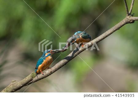 翠鳥,鳥,魚狗 41543935