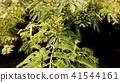 아름다운 꽃을 피우는 자귀 나무 꽃 봉오리 41544161