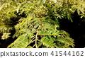 자귀나무, 꽃봉오리, 꽃망울 41544162