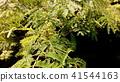 아름다운 꽃을 피우는 자귀 나무 꽃 봉오리 41544163