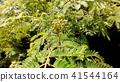아름다운 꽃을 피우는 자귀 나무 꽃 봉오리 41544164