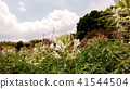 cleome, bloom, blossom 41544504