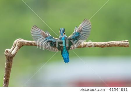 Kingfisher, bird, fish dog 41544811