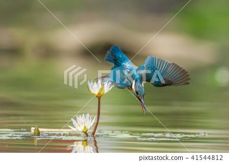킹 피셔, 새, 물고기 개 41544812