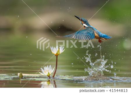 Kingfisher, bird, fish dog 41544813