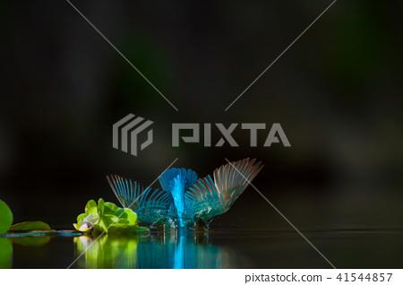 翠鳥,鳥,魚狗 41544857