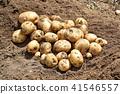 감자 (키타아카리) 수확 41546557