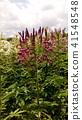 cleome, purple, bloom 41548548