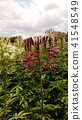 cleome, purple, bloom 41548549