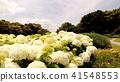 수국, 자양화, 꽃 41548553