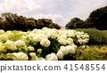 수국, 자양화, 꽃 41548554