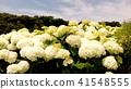 수국, 자양화, 꽃 41548555