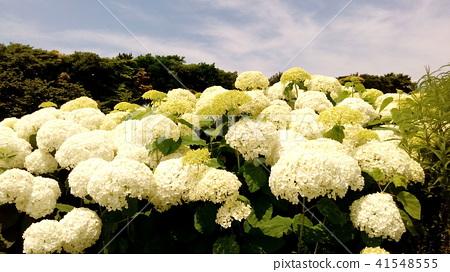 繡球花 花朵 花 41548555