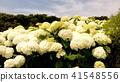 수국, 자양화, 꽃 41548556