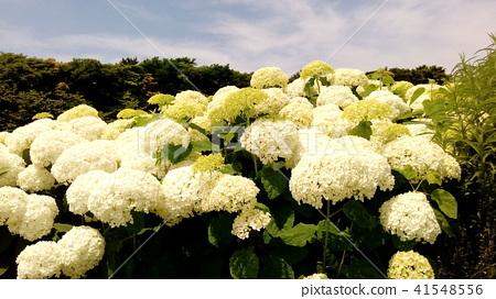 绣球花 花朵 花卉 41548556
