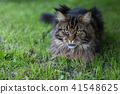 Maine Coon. The largest cat  41548625