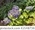 上色夏天八仙花属花的蓝色花 41548736